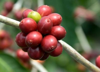 Boabe de cafea verzi
